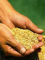 Cada uno de nosotros es un grano de trigo